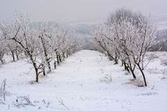 Peach orchard covered with snow in winter,shallow dof Stock Images