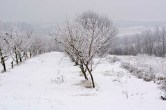 Peach orchard covered with snow in winter,shallow dof Royalty Free Stock Photo