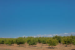 Peach orchard Royalty Free Stock Photo