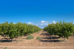 Peach orchard Royalty Free Stock Images