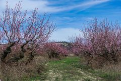 In The  peach orchard in mountains, springtime. Spring blossoming - beautiful peach orchard, against background of mountains and blue sky, sunny day Royalty Free Stock Photos