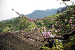 Peach orchard near farmhouse Royalty Free Stock Image