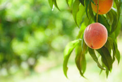 Peach Orchard  10. A Series of images of peaches in an orchard and on a back drop Stock Image