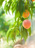 Peach Orchard  12. A Series of images of peaches in an orchard and on a back drop Royalty Free Stock Photo