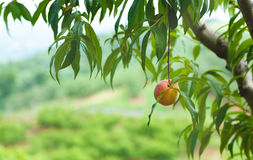 Peach Orchard  17. A Series of images of peaches in an orchard and on a back drop Stock Image