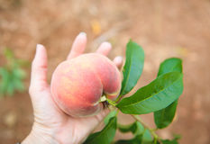 Peach Orchard  18. A Series of images of peaches in an orchard and on a back drop Stock Images