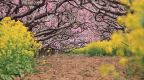 Peach orchard in spring Stock Images