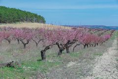 In The peach orchard, springtime, sunny day. In The; peach orchard in mountains; springtime Stock Photography