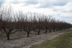 Peach orchard in winter Royalty Free Stock Photos