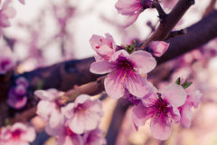 Peach Orchards in Spring Bloom Royalty Free Stock Image