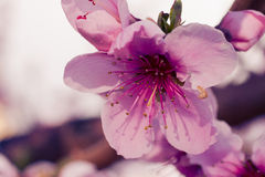 Peach Orchards in Spring Bloom Royalty Free Stock Photography