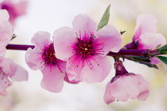 Peach Orchards in Spring Bloom Stock Image