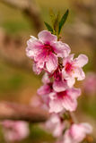 Peach Orchards in Spring Bloom Stock Photo