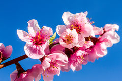 Peach Orchards in Spring Bloom Stock Photography