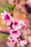 Peach Orchards in Spring Bloom Royalty Free Stock Photos