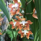 Peach orchid. In Kew Gardens Royalty Free Stock Photo