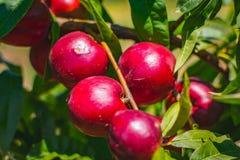peach Organicznie naturalna owoc od natury Obrazy Royalty Free