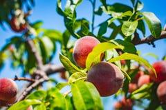 peach Organicznie naturalna owoc od natury Fotografia Royalty Free