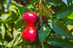 peach Organicznie naturalna owoc od natury Zdjęcie Royalty Free