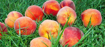 Peach over grass. Fresh appetizing peach over green grass Royalty Free Stock Photos