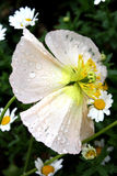 Peach Pansy with Drops royalty free stock image