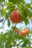 Peach on peach tree Royalty Free Stock Photo
