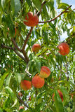 Peach on peach tree Royalty Free Stock Photography