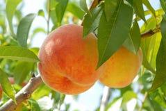 Peach on peach tree Royalty Free Stock Photo