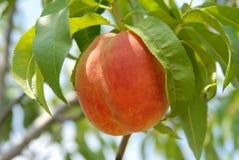Peach on peach tree Royalty Free Stock Photos
