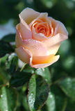 Peach Perfection. Morning walk in the rose garden stock images