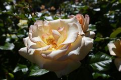 Peach perfection rose royalty free stock photos