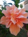 Peach petals Stock Photos