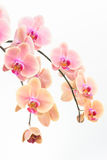 Peach Phalaenopsis orchids close up Stock Photography