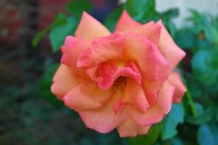 Peach of a Rose stock photography