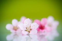Peach pink flowers Royalty Free Stock Images