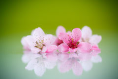 Peach pink flowers Royalty Free Stock Image