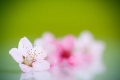 Peach pink flowers Stock Images