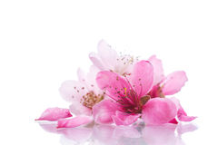 Peach pink flowers Stock Photo