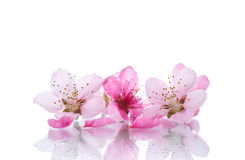 Peach pink flowers Stock Photography
