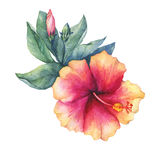 Peach-pink Hibiscus flower. Hand drawn watercolor painting on white background royalty free illustration