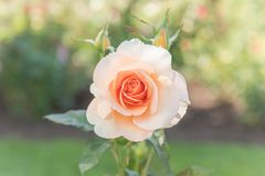 Peach pink rose in full bloom in rose garden. Isolated close up of peach pink rose blooming in summer garden stock photography