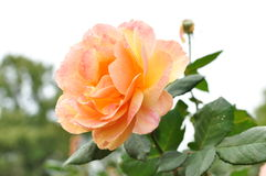 Peach pink rose Stock Images