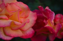 Peach pink two-tone roses. Closeup of beautiful peach-pink rose blossoms, one completely open, the second still unfolding. Rosa genus royalty free stock images