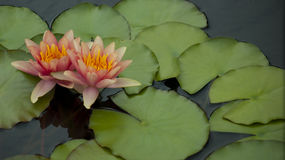 Peach Pink Water Lilies Stock Photography