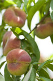 Peach in plantation Stock Images
