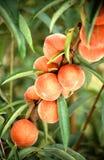 Peach Production Stock Photos