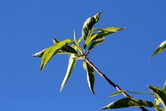 Peach or Prunus persica deciduous tree single branch with lanceolate broad pinnately veined light green leaves. On clear blue sky background stock photos