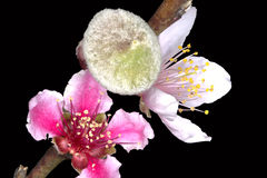 Peach Prunus persica flowers and a fruit bud Stock Image