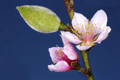 Peach Prunus persica flowers and a fruit bud Royalty Free Stock Image