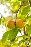 The peach, Prunus persica, Royalty Free Stock Photo